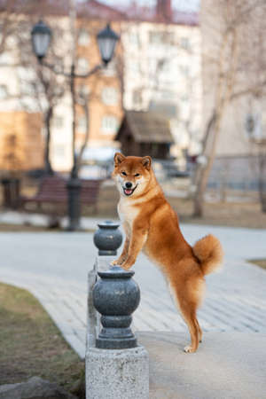 Portrait of beautiful red shiba inu dog standing on its hind legs on the bridge in the city at sunset in spring