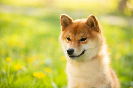 Profile Portrait of beautiful and happy red shiba inu dog sitting in the green grass in summer. Close-up of Cute and adorable japanese red young female dog. Sunny day 写真素材