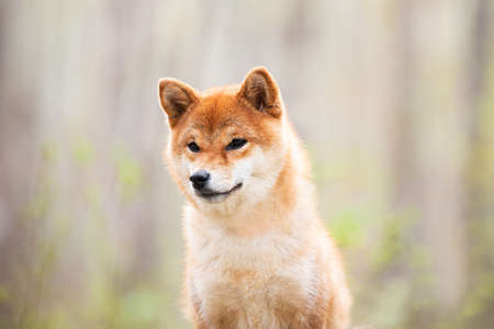 Profile portrait of Beautiful and happy shiba inu dog sitting in the forest at sunset. Red shiba inu female in spring 写真素材