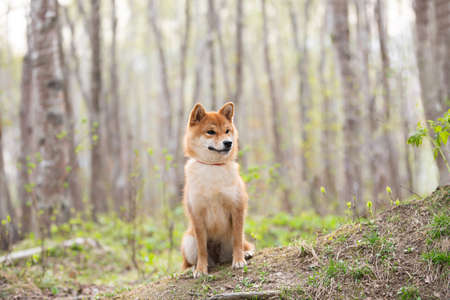 Profile Portrait of Beautiful and happy shiba inu dog sitting on the grass in the forest at sunset in spring. Cute Red shiba inu female 写真素材