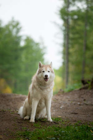 Portrait of free and beautiful dog breed siberian husky sitting in the forest in fall and looks like a wolf.