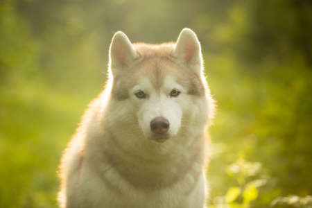Close-up Portrait of Cute beautiful beige and white siberian husky dog sitting in green grass on sunset background and yellow sunny backlight.