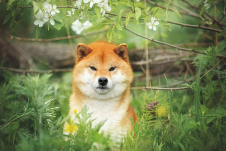 Portrait of lovely shiba inu dog posing against the background of branches of blooming apple tree. gorgeous shiba inu on white flowers background