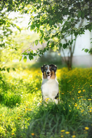 Portrait of beautiful australian shepherd dog posing in the park on yellow dandalion's background. Lovely and happy young blue merle aussie puppy sitting under the tree on sunny day in summer