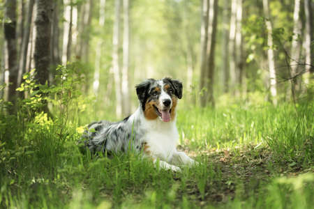 Portrait of young and cute Blue merle Australian shepherd dog in the forest at sunset in summer. Beautiful aussie puppy lying outdoors 写真素材