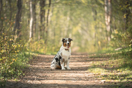 Portrait of young and cute Blue merle Australian shepherd dog in the forest at sunset in summer. Beautiful aussie puppy sitting on the path in the forest