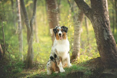 Portrait of young and cute Blue merle Australian shepherd dog in the forest at sunset in summer. Beautiful aussie puppy sitting outdoors