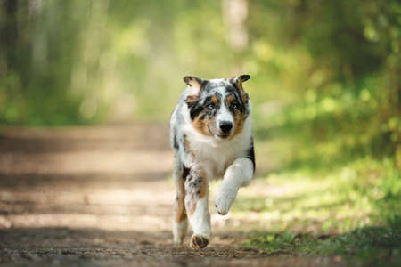 Portrait of funny and cute Blue merle Australian shepherd dog in the forest at sunset in summer. Beautiful aussie puppy running on the path in the forest