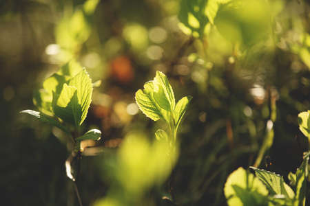 Image of Schisandra wild young buds and fresh leaves in spring season at sunset. 写真素材