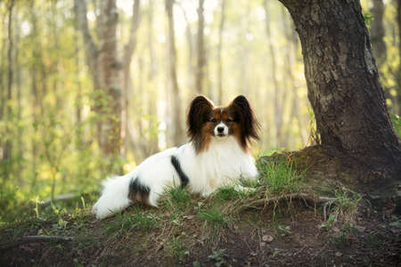 Portrait of beautiful white and brindle dog breed papillon lying under the tree in the forest in summer. Continental toy posing outdoors at sunset