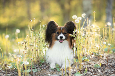Portrait of beautiful papillon dog lying in the green grass and faded coltsfoot flowers in summer. Cute Continental toy spaniel outdoors at sunset 写真素材