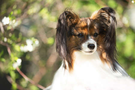 Portrait of beautiful Continental Toy Spaniel or Papillon dog posing outdoors near a white blooming apple tree in spring