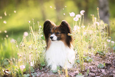 Profile Portrait of beautiful papillon dog lying in the green grass and faded coltsfoot flowers in summer. Cute Continental toy spaniel outdoors at sunset 写真素材