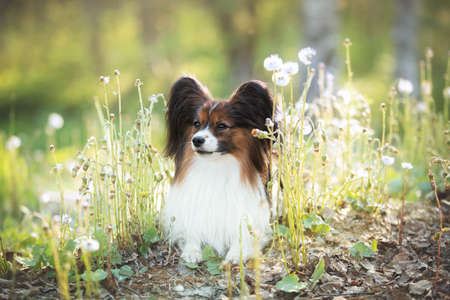 Profile Portrait of adorable papillon dog lying in the green grass and faded coltsfoot flowers in summer. Lovely Continental toy spaniel outdoors at sunset 写真素材