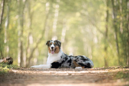 Portrait of young and cute Blue merle Australian shepherd dog in the forest at sunset in summer. Beautiful aussie puppy lying on the path outdoors 写真素材