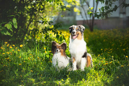 Profile Portrait of young and cute Blue merle Australian shepherd dog and papillon dog in the park in summer. Beautiful aussie puppy and toy continental spaniel sitting outdoors
