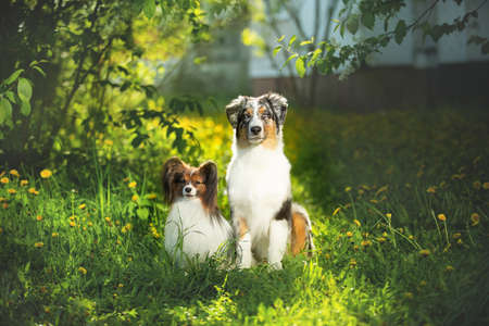 Portrait of young and cute Blue merle Australian shepherd dog and papillon dog in the park in summer. Beautiful aussie puppy and toy continental spaniel sitting outdoors