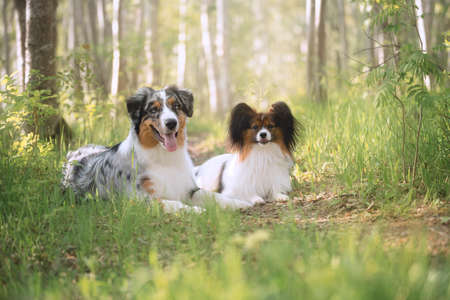 Portrait of young and cute Blue merle Australian shepherd dog and papillon dog in the forest at sunset in summer. Beautiful aussie puppy and toy continental spaniel lying outdoors