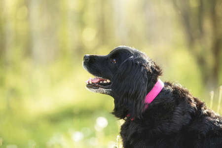 Profile Portrait of a beautiful, old black spaniel dog sittinf in the forest in the green grass 写真素材