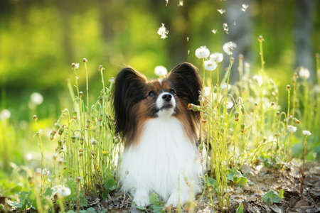 Portrait of beautiful and happy papillon dog lying in the green grass and faded coltsfoot flowers in summer. Cute Continental toy spaniel outdoors at sunset