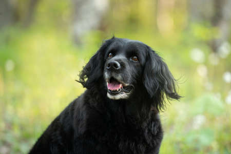 Profile Portrait of a beautiful, old black spaniel dog sitting in the forest in the green grass