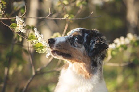 Profile Portrait of adorable australian shepherd dog posing in the forest on white blooming viburnum furcatum bush background. Lovely and happy young blue merle aussie dog sniffing white flowers in summer