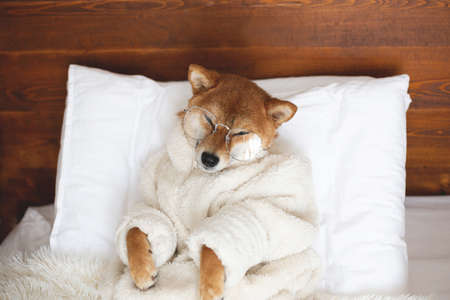 Portrait of funny Red shiba inu Dog wearing glasses and white bathrobe lying in the cozy bed under the blanket. Cute shiba inu with eyes closed smiling