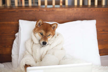 Portrait of Cute Red Shiba inu dog with laptop lying on the bed under the blanket. Top view of lovely japanese shiba puppy wearing white bathrobe