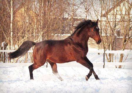 running bay horse in snow paddock Standard-Bild