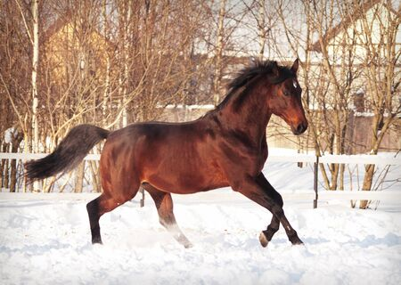 thoroughbred: running bay horse in snow paddock Stock Photo