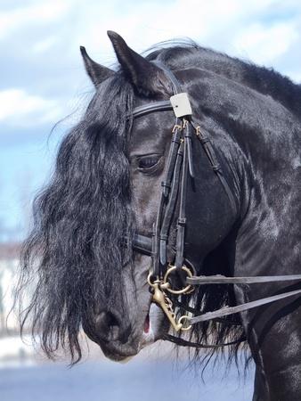 portrait of frisian horse Standard-Bild