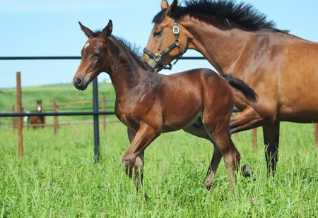 little foal with mother in paddock