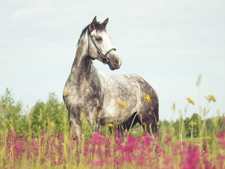 grey horse in blossom meadow