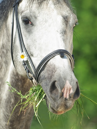 portrait of grey horse with camomile photo
