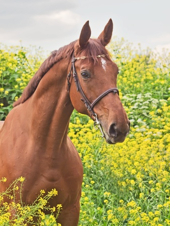 gelding: portrait of beautiful red horse
