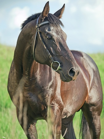 beautiful  black stallion in field