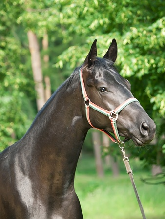 warmblood: beautiful young black trakehner stallion
