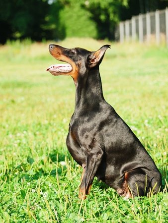 bitch: incredibile doberman nero cagna Archivio Fotografico