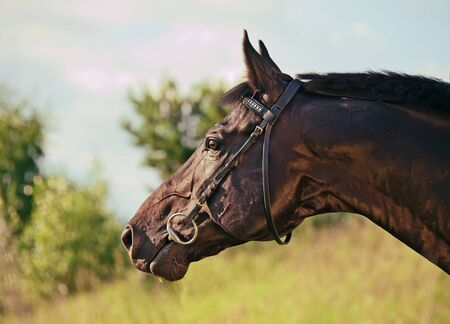 warmblood: portrait of cute black stallion in profile Stock Photo