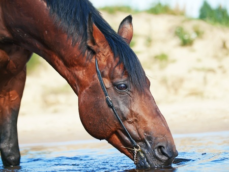 warmblood: bay drinking horse in river Stock Photo
