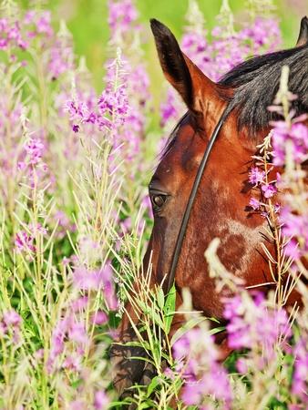 equitation: portrait of nice  bay stallion around pink flowers closeup