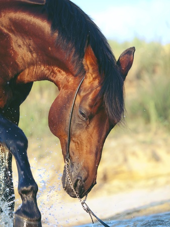 warmblood: portrait of splashing bay horse