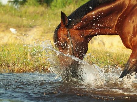 chevaux noir: �claboussures cheval bai en rivi�re Banque d'images
