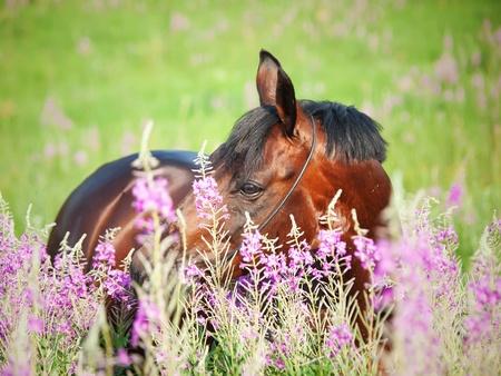 portrait of nice  bay stallion around pink flowers