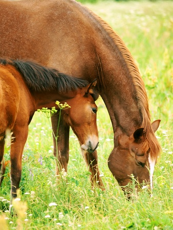 warmblood: little foal with mother in meadow