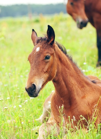 pretty little laying  red  foal in meadow Stock Photo - 10617709