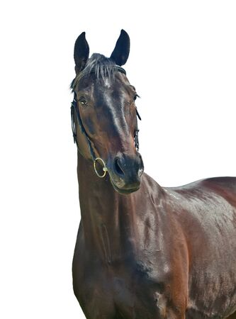 cute dark sportive mare isolated on white