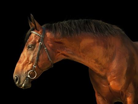 caballo negro: Retrato de caballo bonito aislados en negro