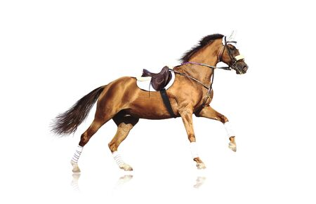 galloping sportive horse without rider   isolated on white