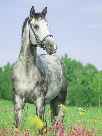 beautiful grey horse in green field